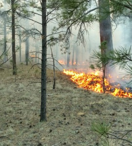 Surface fire consuming dead and down logs, grass and forest litter