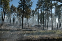 healthy mosaic of burned vegetation and green grass on the forest floor